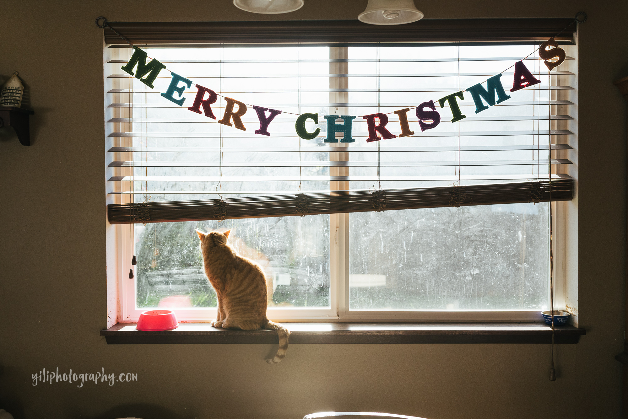 seattle orange cat looks out window with merry christmas banner