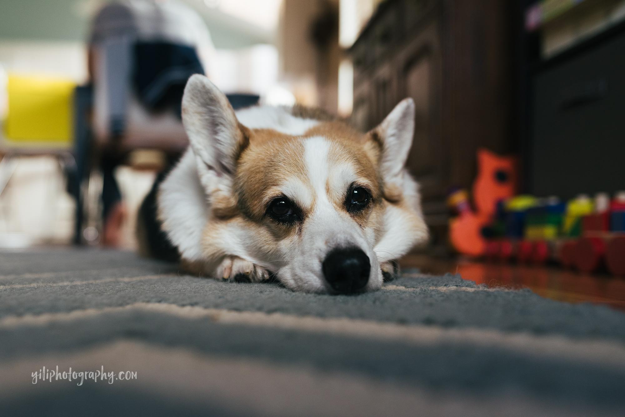 seattle family dog lying peacefully on rug