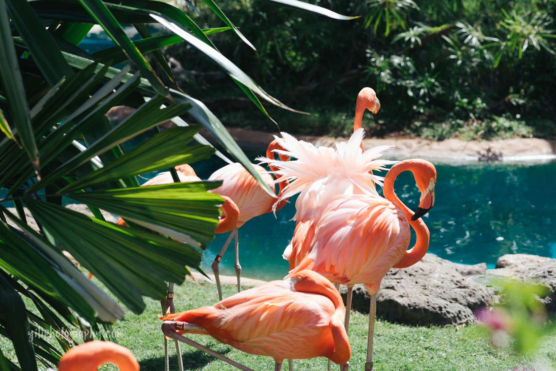 tropical flamingoes at zoo