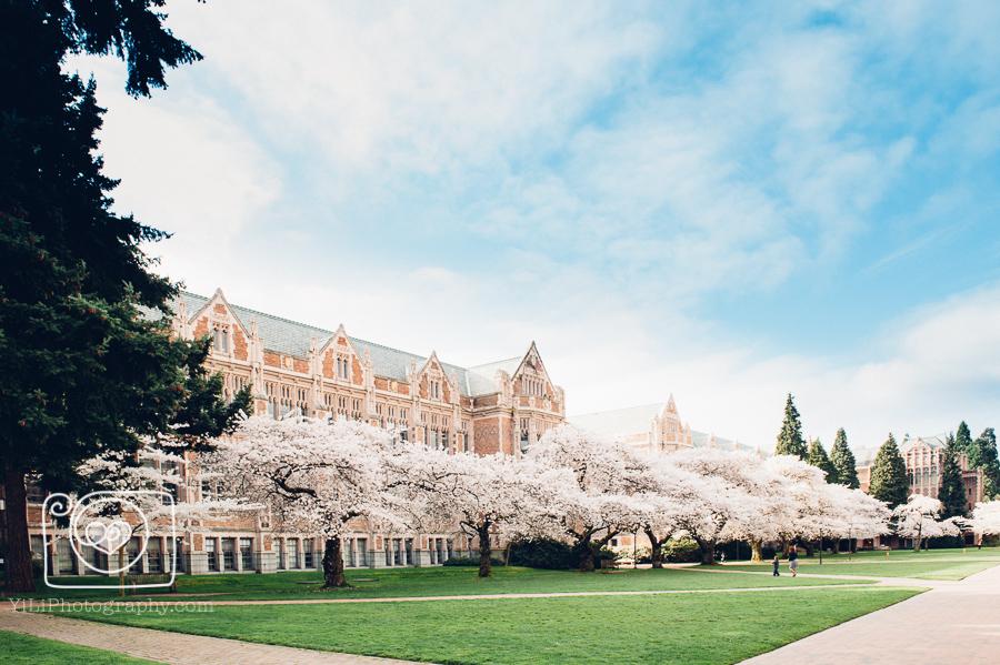 University of Washington quad cherry blossoms