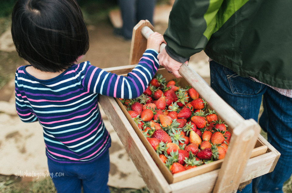 seattle girl holding strawberry flat with father at remlinger farms in carnation WA