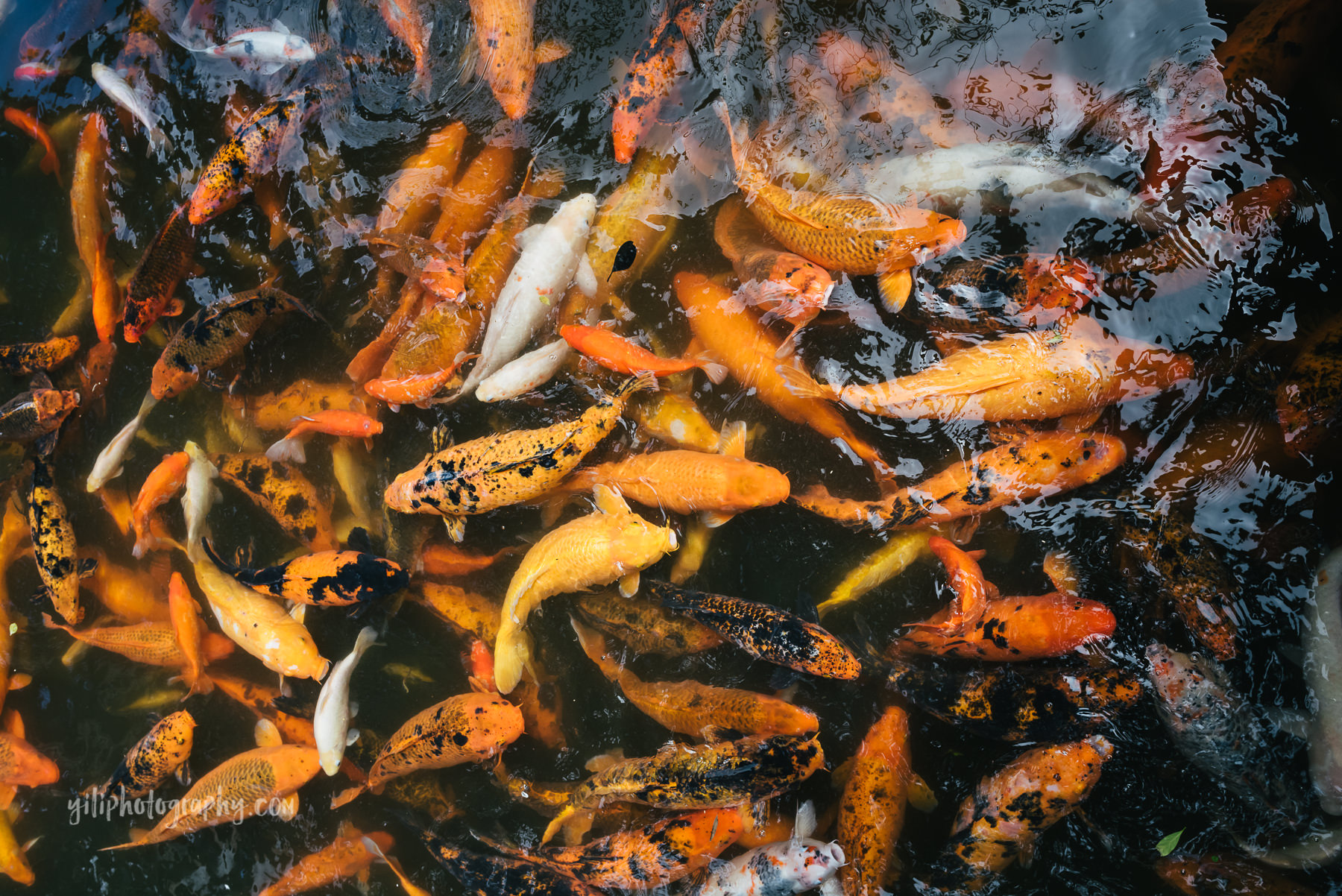 koi swimming in pond