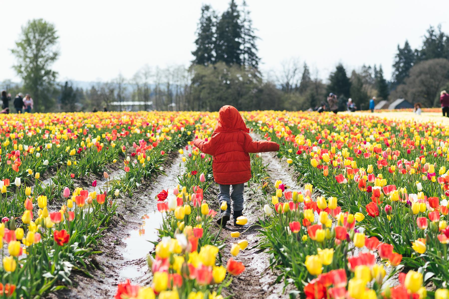 boy walking down rows of tulips in PNW